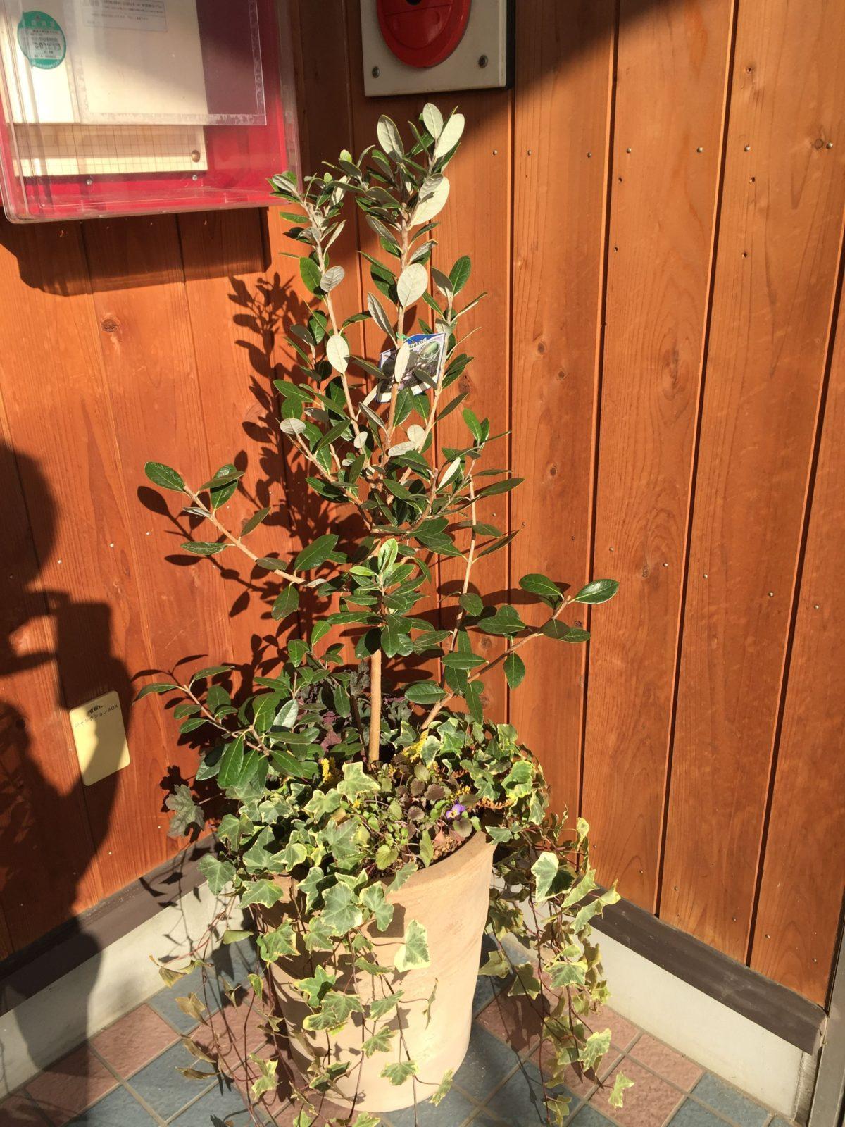 フェイジョアを使ったニッチ植栽。